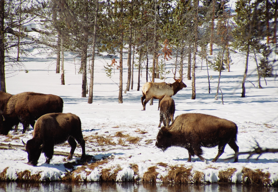 Winter Family Yellowstone Tours See Bison